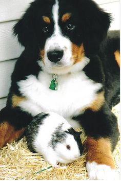 Bernese Mountain dog puppy and guinea pig- these two were buddies- so cute!