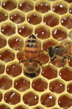 .Bees on Honeycomb