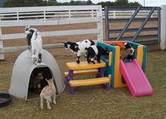 Prairie Wood Ranch Nigerian Dwarf & African Pygmy Sales . .. . . .. .I helped raise goats and always thought they would enjoy the big wooden playground at the city park . where I took the children . .