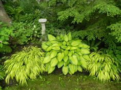 Hakonechloa macra Aureola Japanese Forest Grass in a Toronto shade garden by garden muses-a Toronto gardening blog