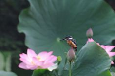 Kingfisher on a Lotus Bud by Mubi.A Now, I'm Ranking No. 2 ! ^^; https://youpic.com/photographers