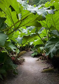 The 'Gunnera Passage' at Trebah Gardens. The giant rhubarb (Gunnera Manicata) plant is fairly widespread by streams throughout Cornwall. (These plants do well in the Pacific Northwest, too. Bog Garden, Shade Garden, Dream Garden, Garden Paths, Garden Landscaping, Tropical Landscaping, Cottage Gardens, Vegetable Garden, Tropical Garden