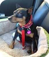 Florissant, MO - Miniature Pinscher. Meet Dori, a dog for adoption. http://www.adoptapet.com/pet/8722332-florissant-missouri-miniature-pinscher