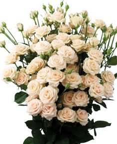 Peach Avalanche Roses Rosen Rosensorten Schnittblumen