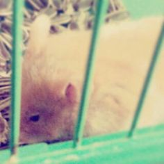 hamster Animals, Fotografia, Photography, Animales, Animaux, Animal, Animais