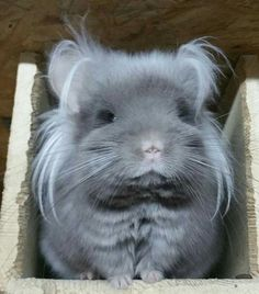 Never seen any chinchilla got long fur on both side of the face . this is very unique