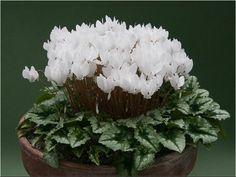 Cyclamen hederifolium forma albiflorum