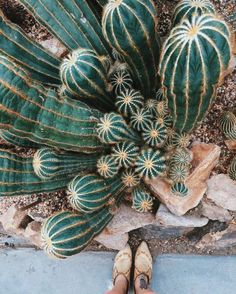 cactus gardens // The higher the bun, the better the workout. Plants Are Friends, Cactus Y Suculentas, Cacti And Succulents, Cacti Garden, Cactus Planters, Jolie Photo, Cactus Flower, Organic Gardening, Planting Flowers