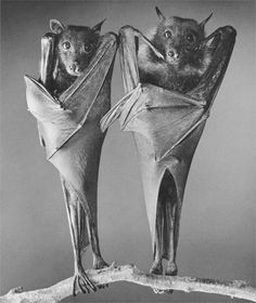 I have bats here from time to time-- that is, they come into the house and I SEE them occasionally. But they are not this type (Fruit bats?) Mine are very small and brown, and not as cute as these two.