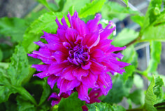 Chandenagor - Ludwigs Roses | Also named after a town in France, this dahlia has a pleasing deep purple colour. Bloom opens to 15cm and the plant grows to 1.1m. Deco type. The stems have an interesting black colour. Healthy.