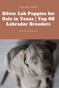 Silver Lab Puppies for Sale In Texas is very easy now. We have reviewed 08 Silver Lab Breeders in Texas who are very expert in the production of Labrador retriever puppies for sale. Labrador Retrievers are very high in demand and Silver Labs are expensive puppies............ #labradorsofig #labradoritejewelry #labradora #labradorretrieversofinstagram Silver Labrador Retriever, Retriever Puppies, Labrador Retrievers, Labrador Breeders, Labrador Puppies For Sale, Silver Labs For Sale, Charcoal Lab, Labrador Names, Silver Lab Puppies