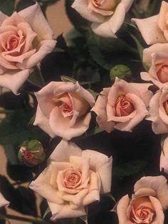 Barbara Mandrell roses