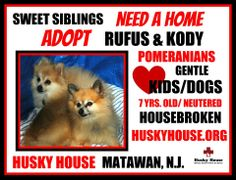 #Sweet sibling #Pomeranians Rufus and Kody looking for their forever home.  Must be #adopted #together.