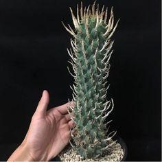 Euphorbia schoenlandii