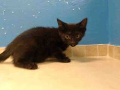 TO BE DESTROYED 9/17/13 Brooklyn Center  My name is CHAN. My Animal ID # is A0977951. I am a male black and white domestic sh mix. The shelter thinks I am about 11 WEEKS old.  I came in the shelter as a STRAY on 09/05/2013 from NY 10458, owner surrender reason stated was STRAY. I came in with Group/Litter #K13-152164. https://www.facebook.com/photo.php?fbid=665268616818307&set=a.576546742357162.1073741827.155925874419253&type=3&theater