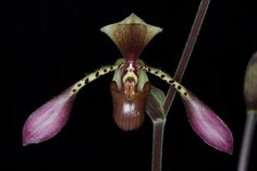 Paph. lowii