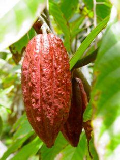 Sterculia foetida Olive TROPICA - 3 Samen Java