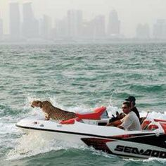 This guy from Qatar likes to take his cheetah boating: | The Rich Guys With Lions Of Instagram