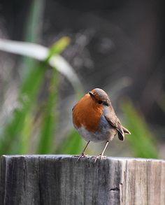 Robin Red Robin, Robin Bird, All Birds, Little Birds, Beautiful Sunrise, Beautiful Birds, Animals And Pets, Cute Animals, European Robin