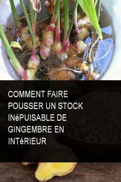 Comment faire pousser un stock inépuisable de gingembre en intérieur #Gingembre #Pousser #Commentfaire #Comment #Faire #Pousse #Interieur