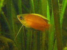 Honinggoerami (Trichogaster chuna, voorheen Colisa chuna) is een tropische vis die ook als aquariumvis gehouden wordt. Hij behoort tot de familie van de Echte goerami's en komt oorspronkelijk voor in India en Bangladesh.