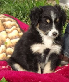 Another one of our first black tri mini australian shepherds. What a cute fluffy pup!