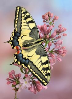 Butterfly Pictures, Butterfly Flowers, Butterfly Kisses, Green Butterfly, Butterfly Wings, Pink Flowers, Beautiful Bugs, Beautiful Butterflies, Beautiful Pictures