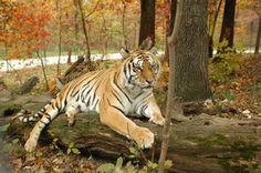 Katy sure is beautiful in her beautiful habitat.  Turpentine Creek Wildlife Refuge