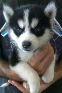 Adorable Husky Puppy❤