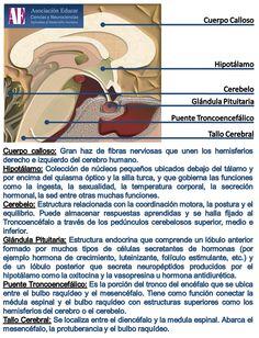 Ilustracion Neurociencias: Cuerpo calloso, hipotálamo, cerebelo, glándula pituitaria, puente troncoencefálico, tallo cerebral - Asociación Educar Ciencias y Neurociencias aplicadas al Desarrollo Humano  www.asociacioneducar.com