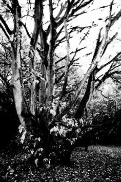 old tree/humber bridge park - A photographic image