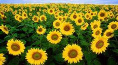 Sunflowers field #flowers #flowerpower #yellow #sunflowers #iloveflowers