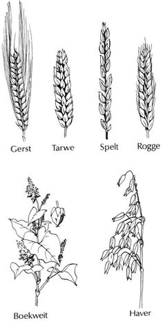 Different types of grain for different breads. Different Types, Rabbit Food, Makeup Quotes, Windmill, Planting Flowers, Hair Accessories, Sketches, Third Grade, Flourish