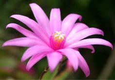 Easter Cactus (Schlumbergera Gaertneri) | Our House Plants