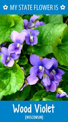 #Wisconsin's state flower is the Wood Violet. What's your state flower? http://pinterest.com/hometalk/hometalk-state-flowers/