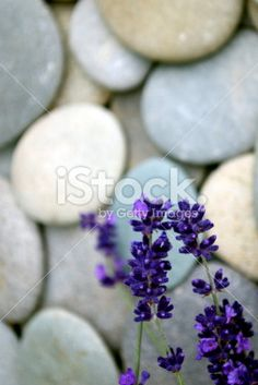 nature background of English Lavender in focus and an out of focus. The Colour Of Magic, River Pebbles, Out Of Focus, Closer To Nature, Be A Nice Human, Colour Images, Image Now, Natural Health, Life Is Good