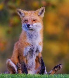 Fox by © cjm_photography
