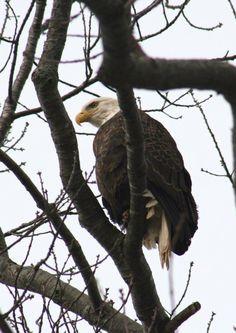 Sheffield Mills Eagle Watch 2018, Nova Scotia Eagle Watch, Annapolis Valley, Nova Scotia, Sheffield, Bald Eagle, Places To Visit, Lifestyle, Animals, Animales