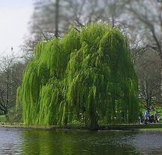 I Love Weeping Willow Trees-