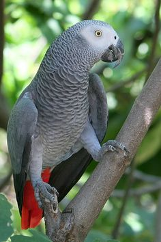 African Grey Parrot. I wonder if my mom's still remembers how to say my name.