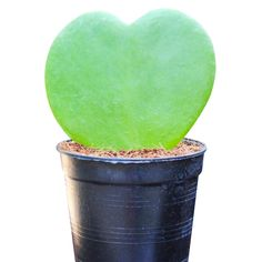 Also called Valentine plant, sweetheart hoya (Hoya kerrii) is a popular gift around Valentine's Day because of its heart-shape. You're most likely to see a single heart-shape in a cute little pot, but sweetheart hoya will eventually grow into a vine, covered in little green hearts. This succulent plant doesn't need much water and will grow in low light. Planting Succulents, Garden Plants, Indoor Plants, Container Gardening, Indoor Gardening, String Of Pearls, Bright Flowers, Low Lights, Houseplants