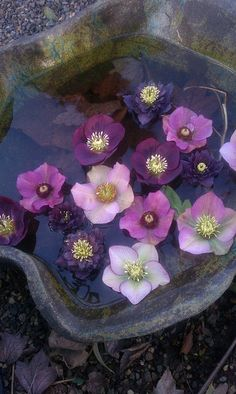 The perfect way to enjoy Hellebores.  Since most face down, clip and few blooms and float them in a bowl.