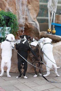 Puppies | Bigshot Bull Terriers