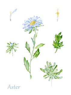 Watercolor Botanic Illustration: Aster. on Behance