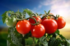 tomato pic desktop - tomato category