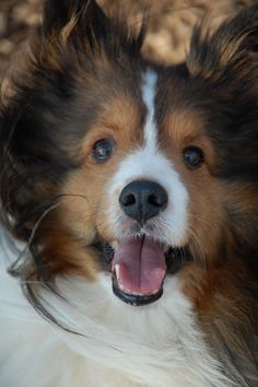 Shetland Sheepdog. Totally need one of these!!!