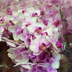 NYC Flower Project - Phaleonopsis Orchids