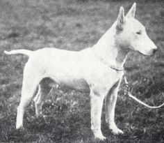 BULL TERRIER HEADS PAST AND PRESENT