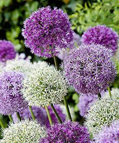 RIESEN LAUCH (Allium giganteum) MIX - violett und weiss - insg. 60 Samen/Pack - Zierlauch - Winterhart - Riesenlauch: Amazon.de: Garten