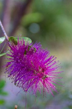 #pink  #grevillea #flower